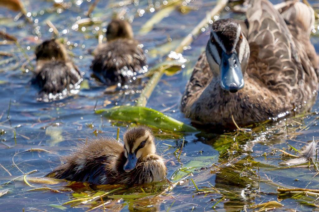 duckling-albert-park-lake
