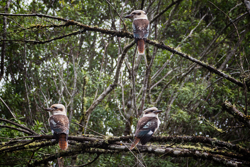 kookaburras-in-tree