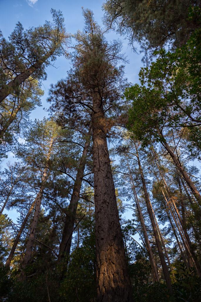 raidiata-pine-creswick