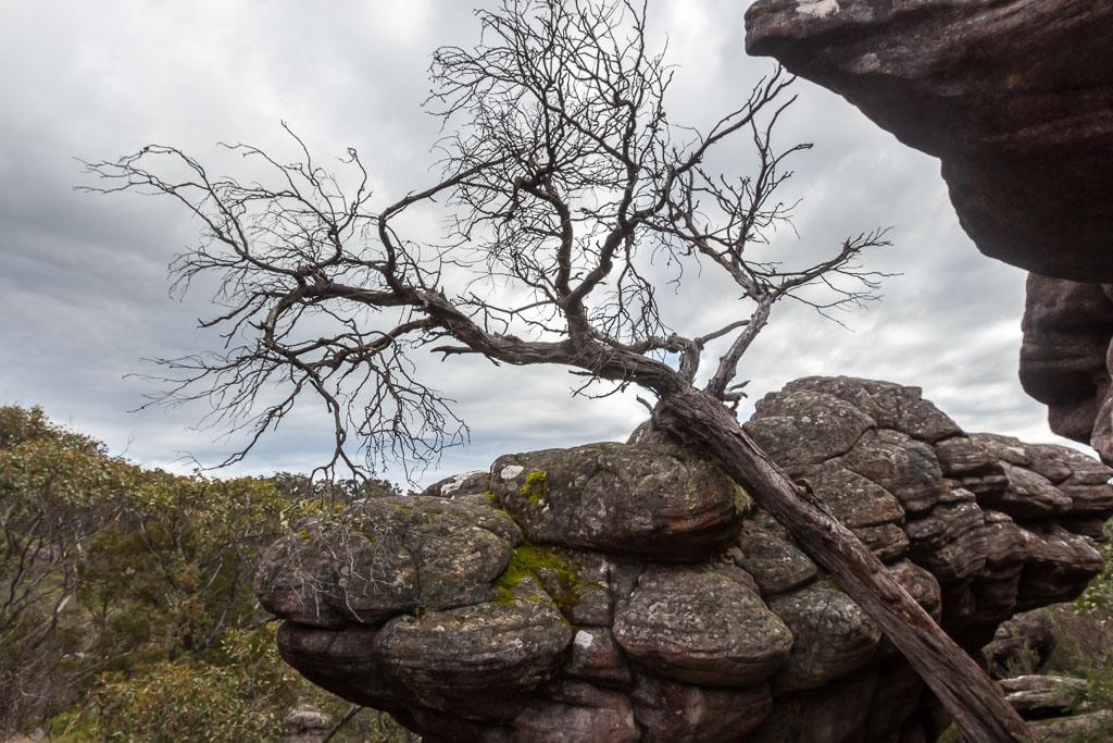 tree-leaning-on-rock-grampians
