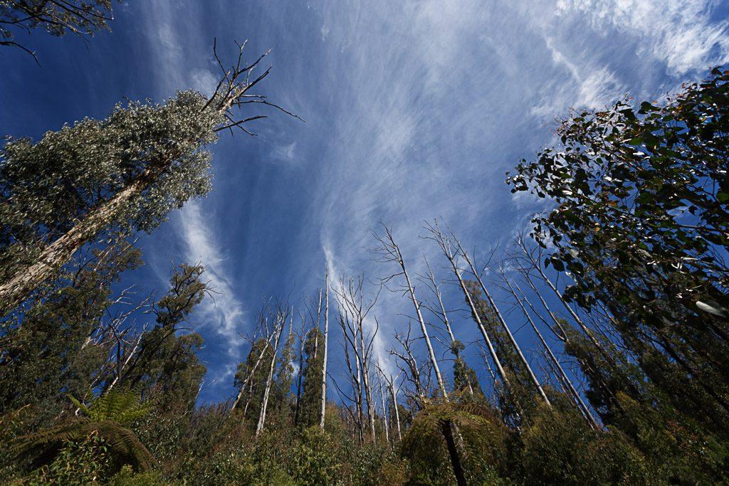 bushfire-regrowth-marysville