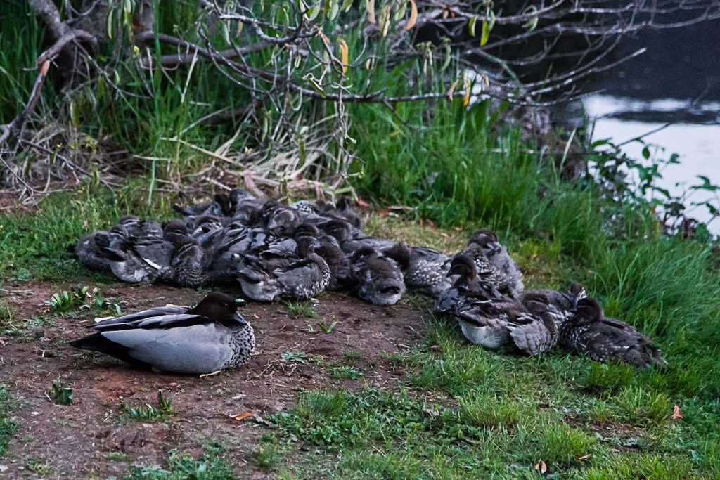 ducks-huddle-next-to-lake