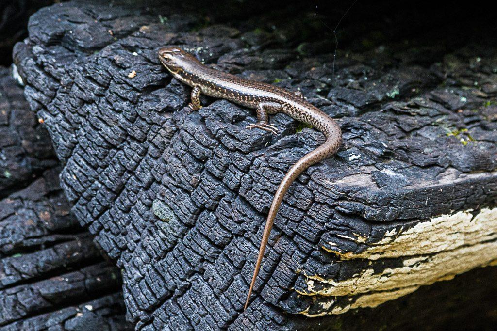 lizard-on-burnt-tree-log