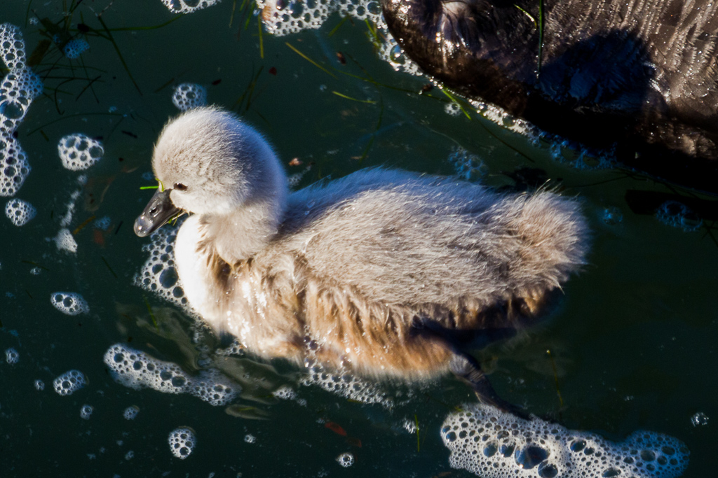 cygnet-albert-park-lake-in-water
