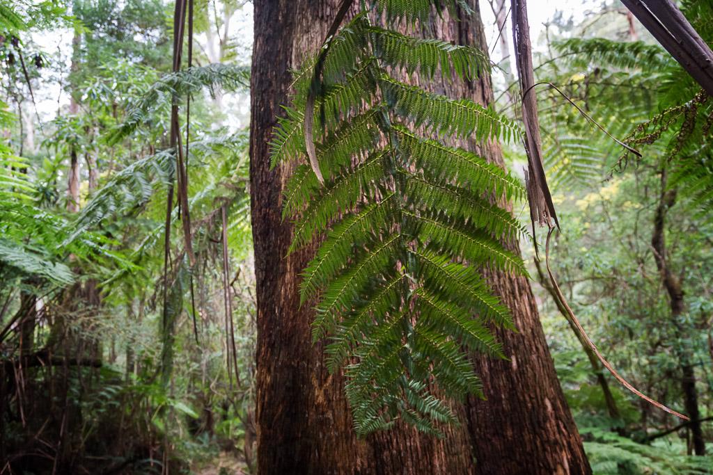 fern-frond-eucalypt-olinda-dandenong-ranges