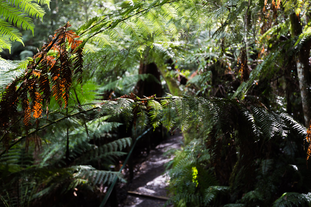 ferns-near-track-dandenong-ranges