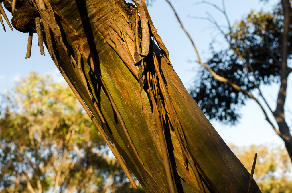 green-bark-eucalypt-tree