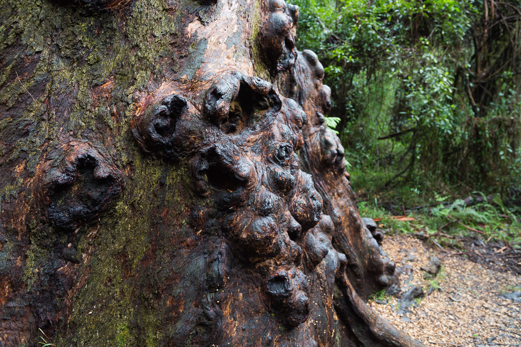large-tree-sherbrooke-forest-dandenong-ranges