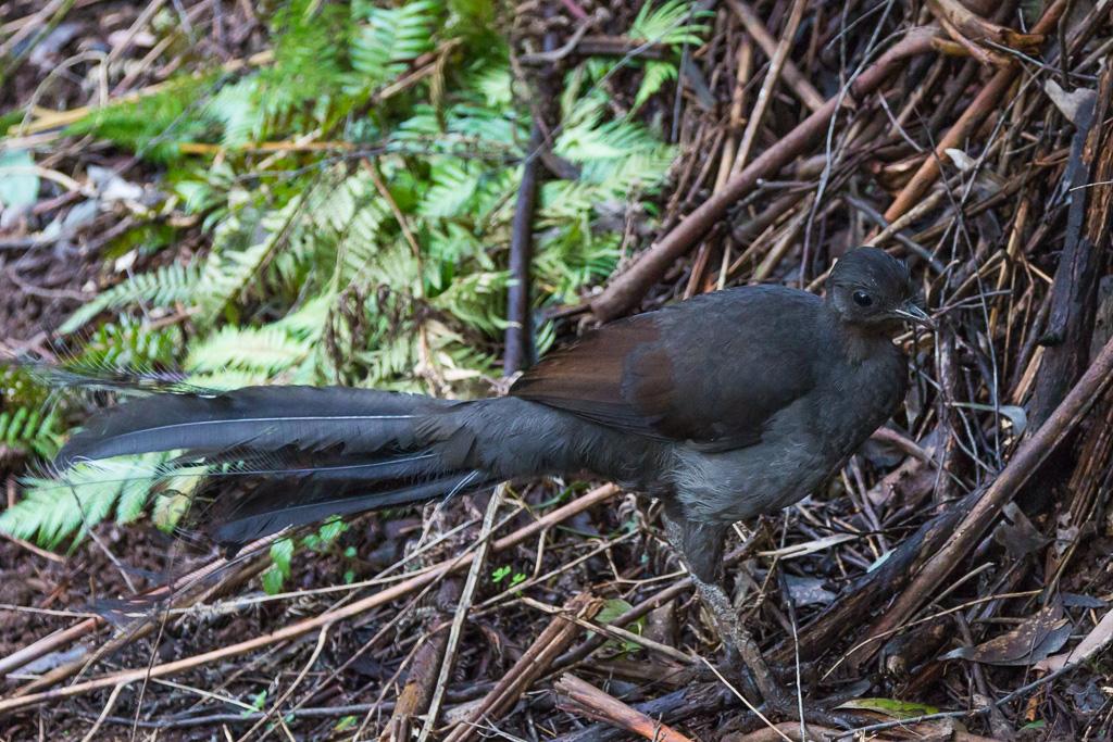 lyrebird-olinda-dandenong-ranges