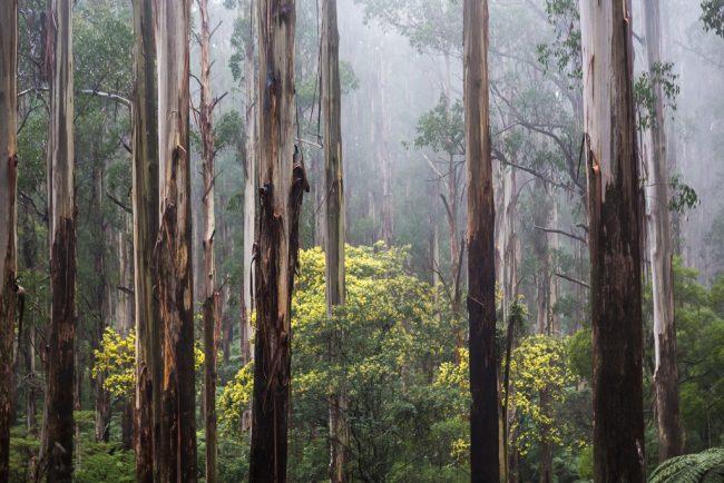 mist-trees-dandenong-ranges