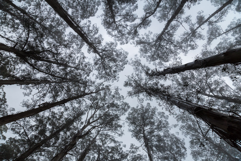 tall-trees-dandenong-ranges