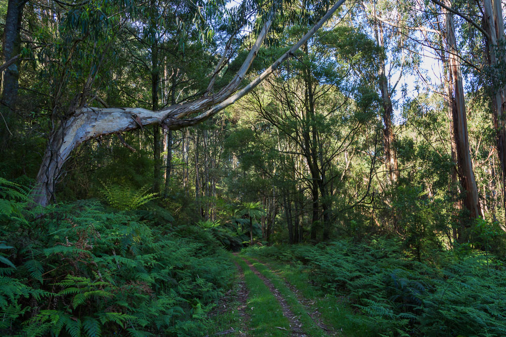 trees-ferns-walking-track-olinda