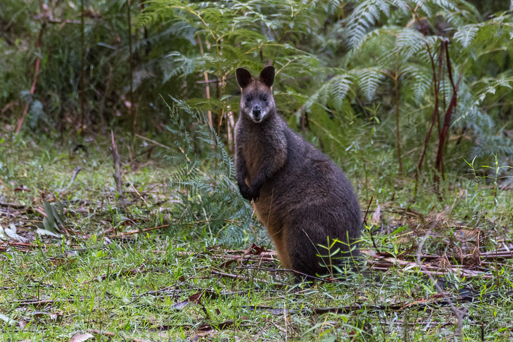wallaby-coles-ridge-track-dandenong-ranges