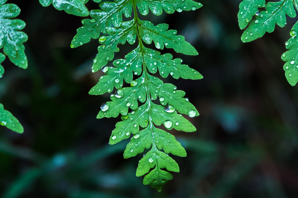 water-fern-leaf-sherbrooke-forest-dandenong-ranges
