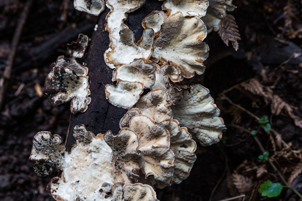 white-fungi-on-tree-branch-dandeong-ranges