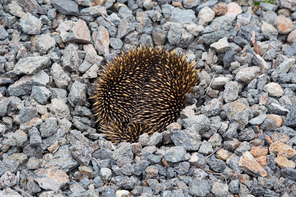 echidna-on-rocks-steiglitz