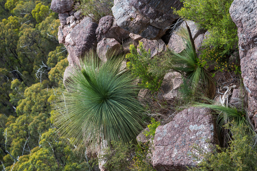 grass-tree-cathedral-rock-grampians