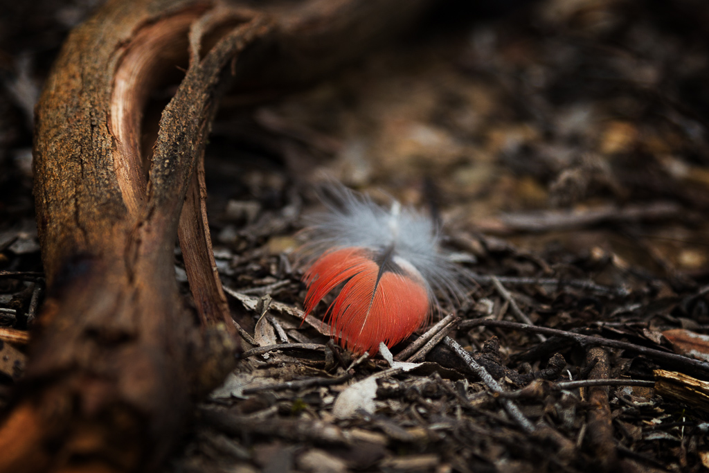 red-feather-lying-on-ground