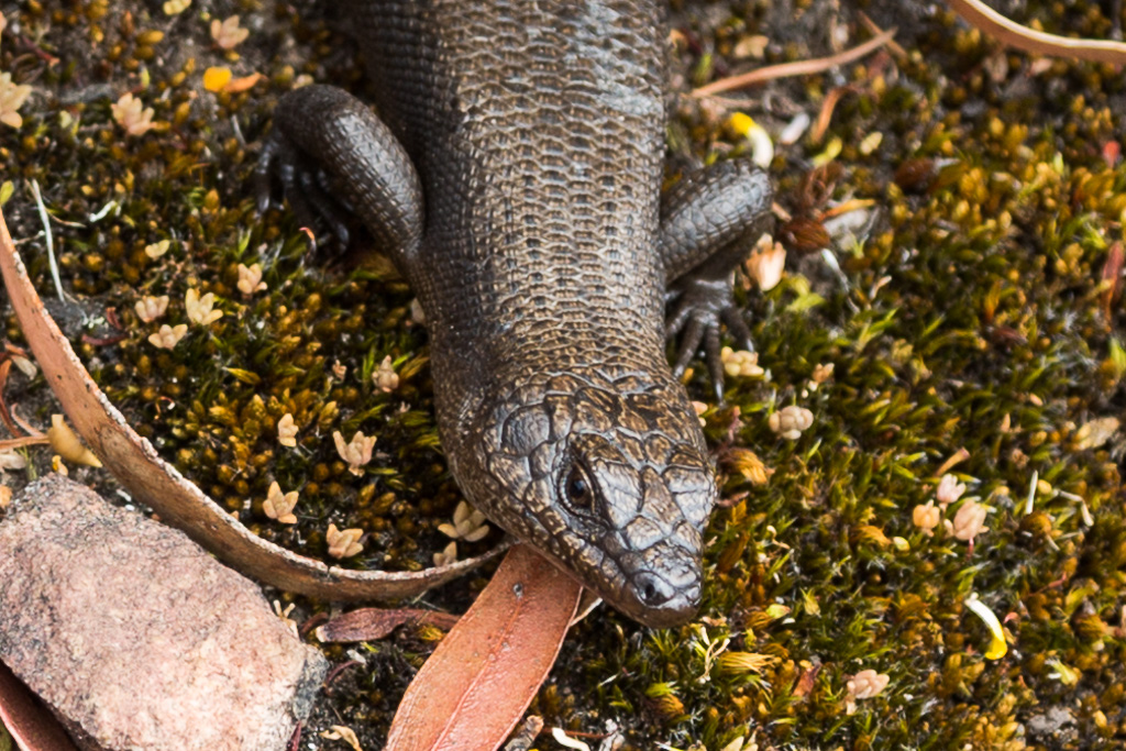 skink-on-rock-cathedral-rock-grampians