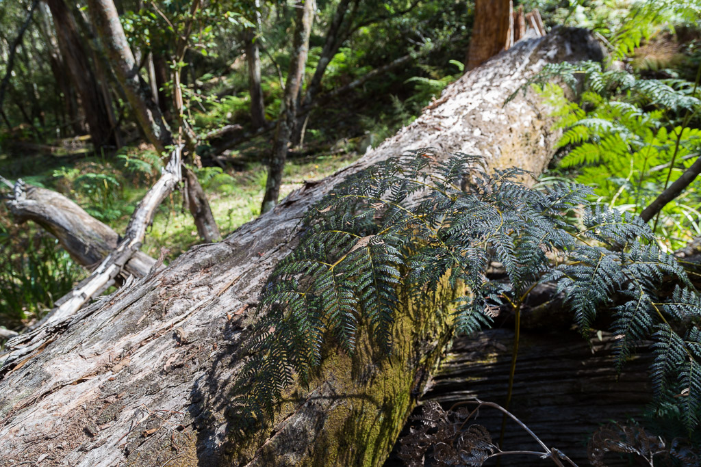 large-fallen-tree-lerderderg-state-park