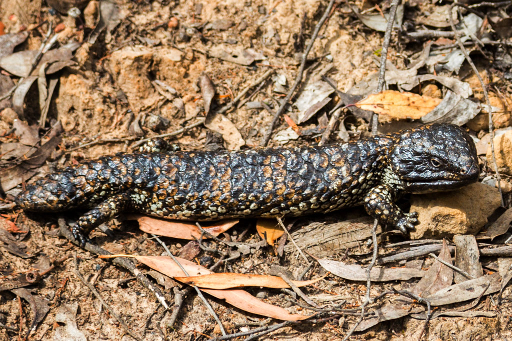 blue-tongue-lizard-grampians