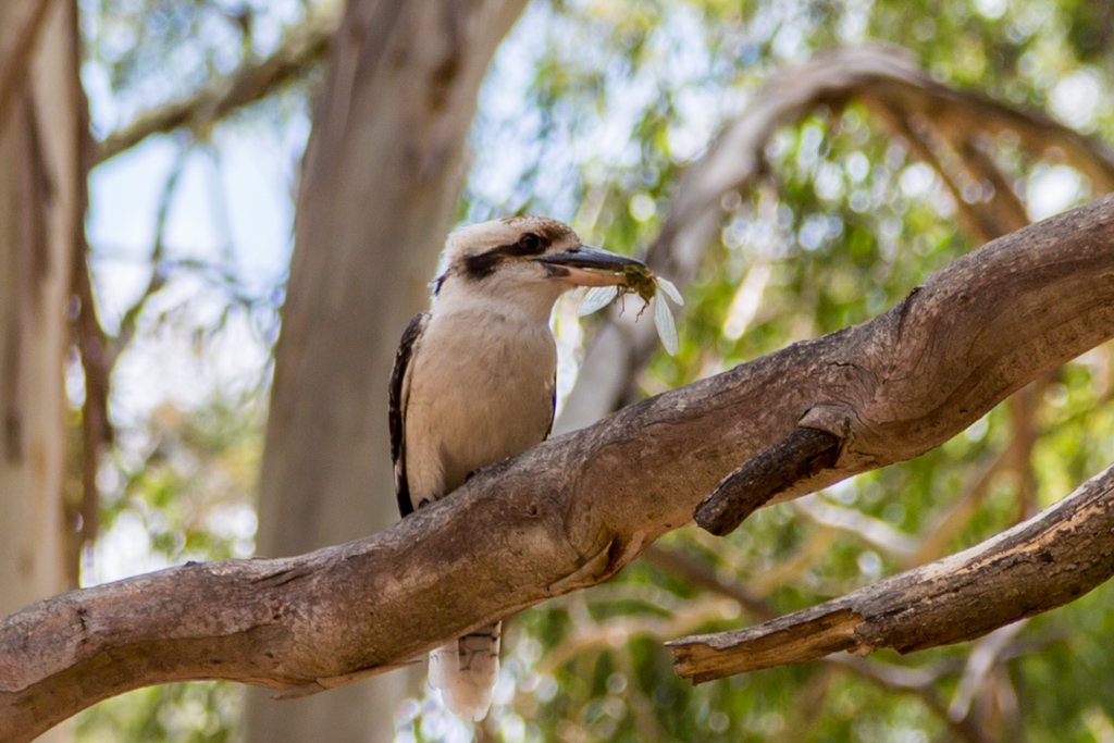 kookaburra-tree-grampians