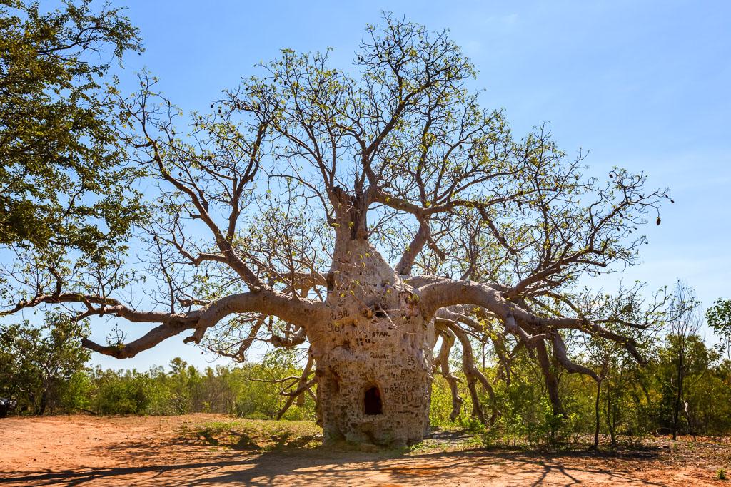 prison-boab-tree-wyndham-western-australia