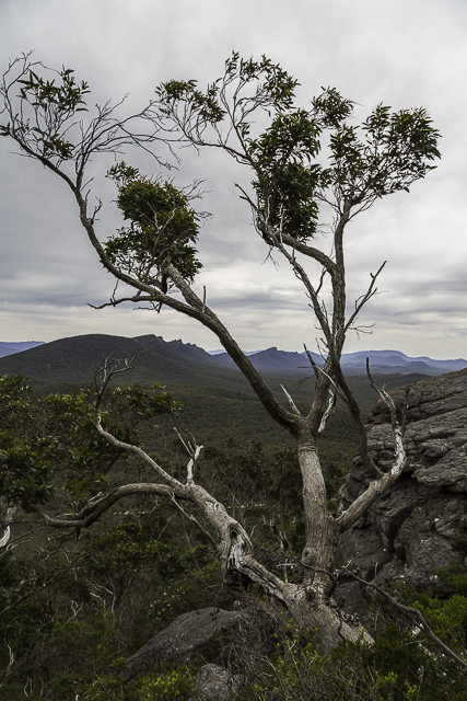 eucalypt-signal-peak-grampians-national-park
