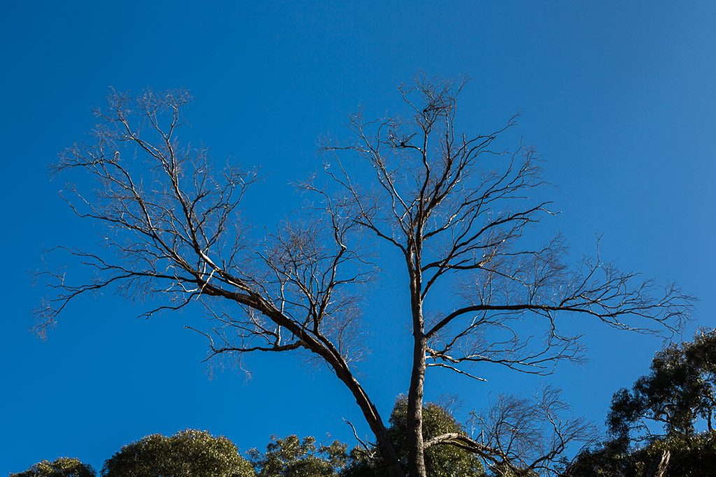 eucalypt-tree-blue-skies