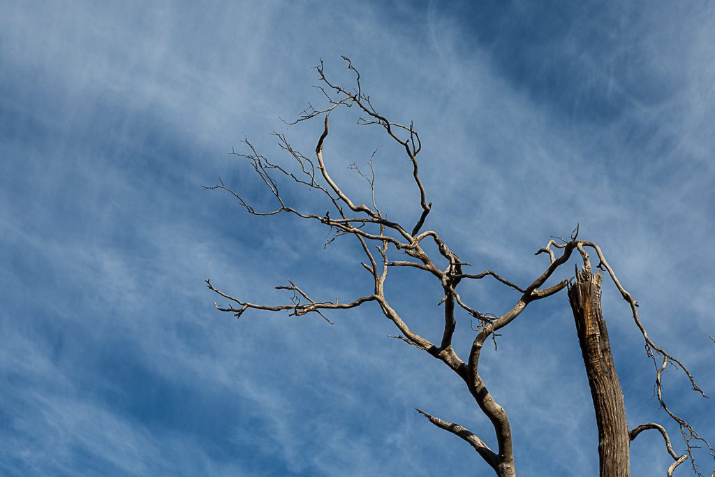 eucalypt-branches-blue-sky