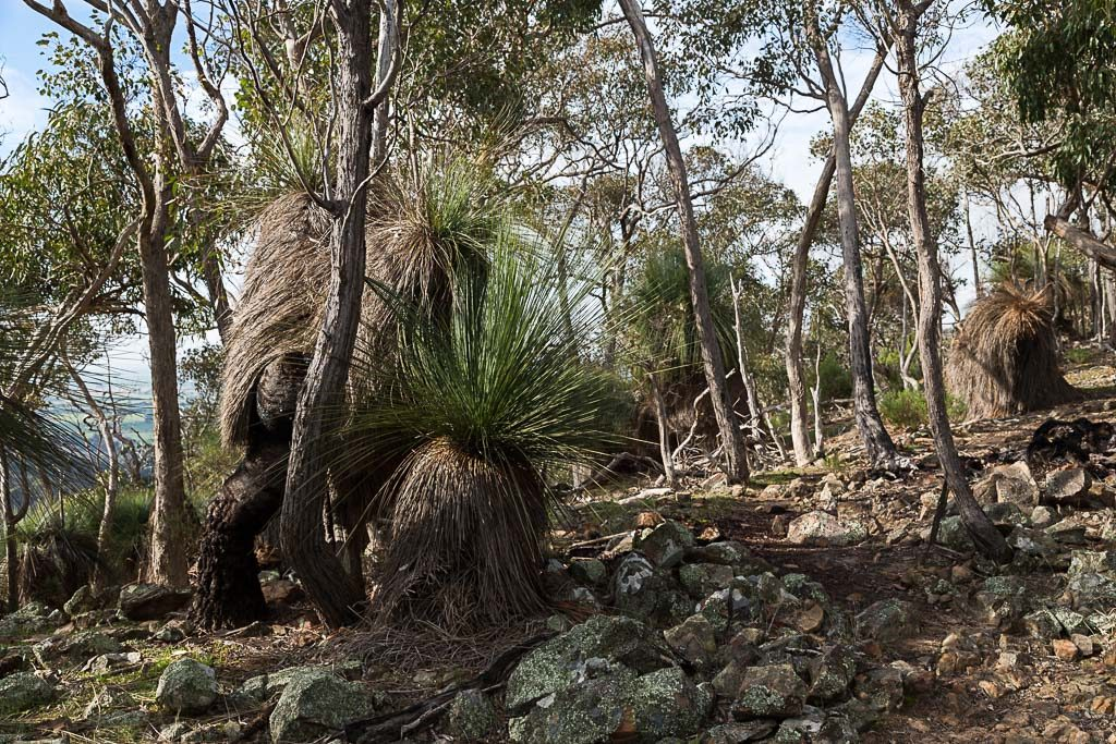 grass-trees-griffen-hill-brisbane-ranges