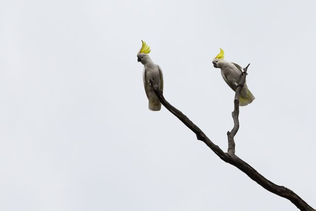 sulphur-crested-cockatoos