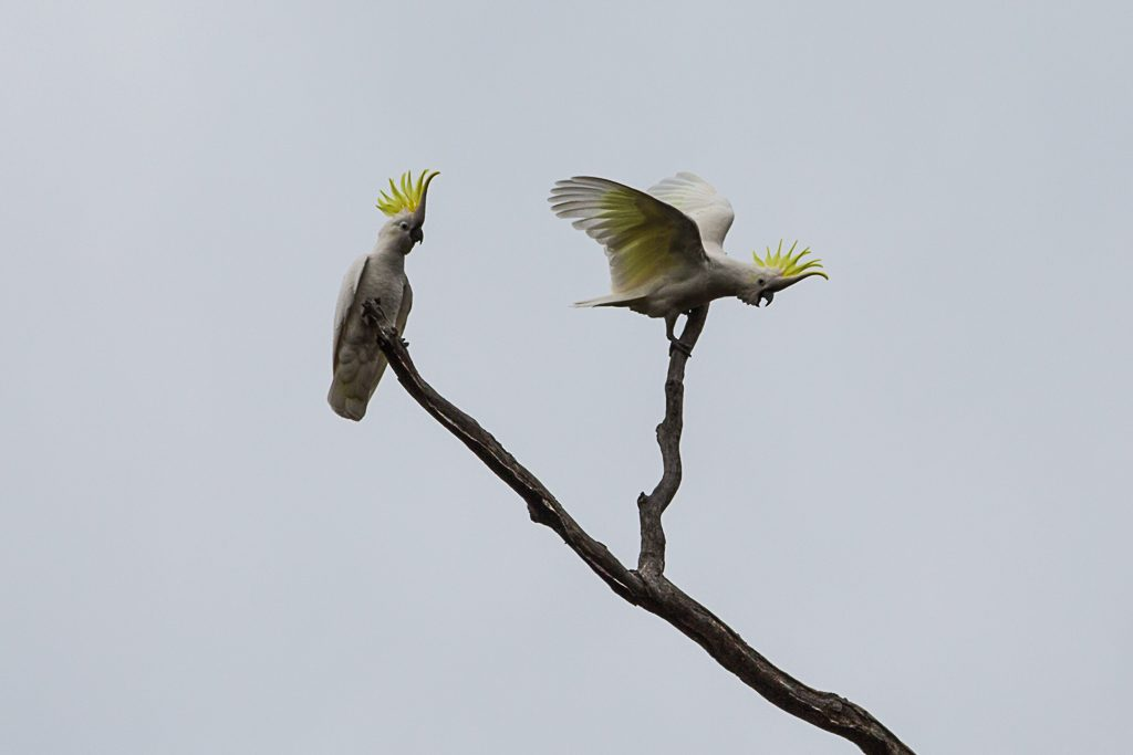 sulphur-crested-cockatoos-brisbane-ranges-national-park