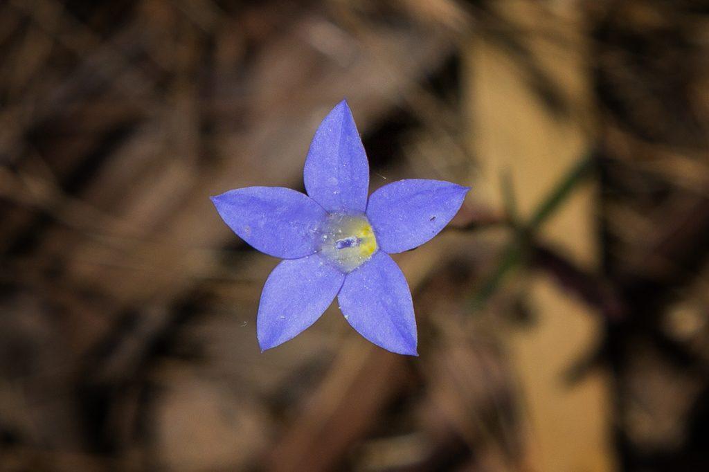 annual-blue-bell-flower