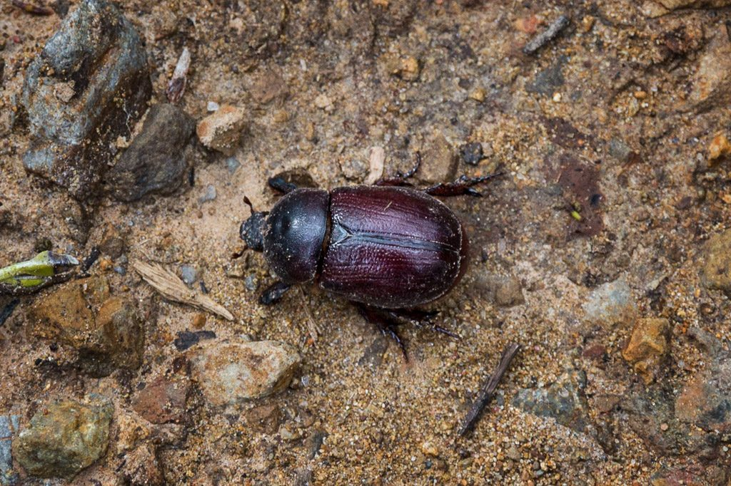 beetle-yarra-ranges-national-park
