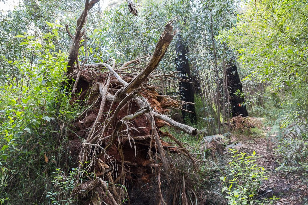 fallen-tree-mt-juliet-yarra-ranges-national-park