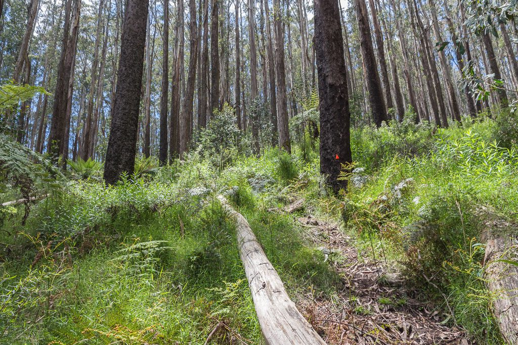 track-near-summit-mt-juliet-yarra-ranges-national-park
