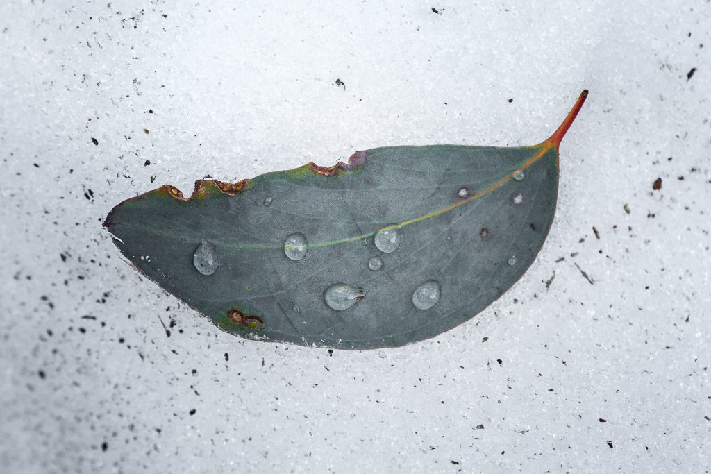leaf_water_drops_snow