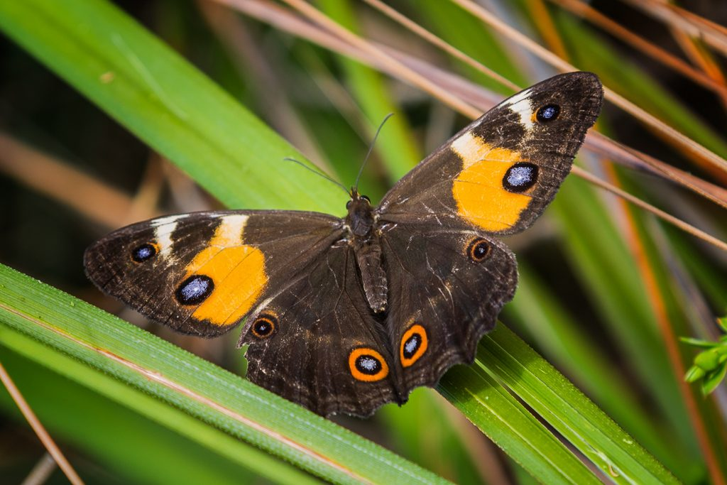 swordgrass-brown-butterfly-tisiphone-abeona