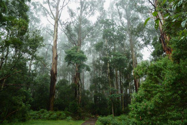 mist-in-trees