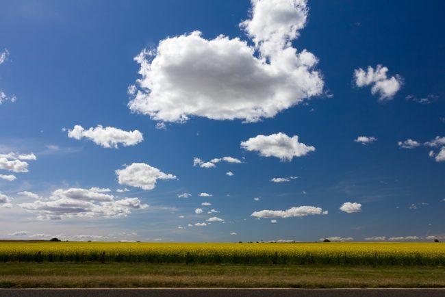 canola-field-blue-sky-cumulus-clouds
