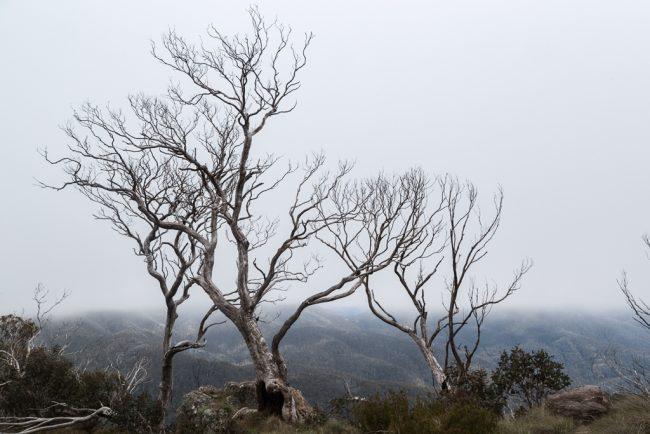 snowgums-in-mist