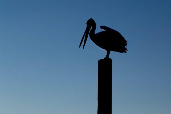 pelican-on-post