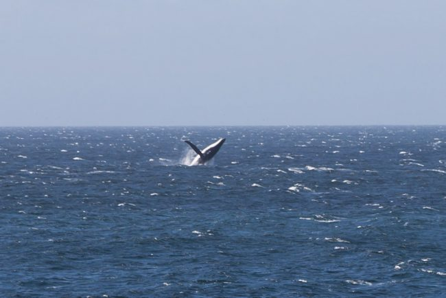 whale-breaching-water-near-gabo-island