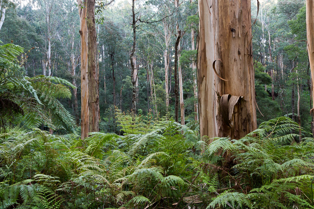 trees-ferns-olinda-forest